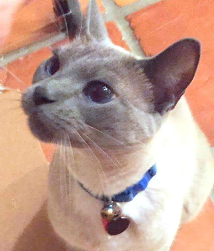 Lost Male Cat last seen Near S Cypresshead Dr & W Cypresshead Dr, Parkland, FL 33067