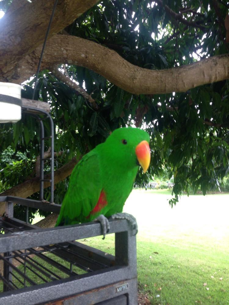 Lost Male Bird last seen Mamalahoa Highway, Holualoa, HI 96725