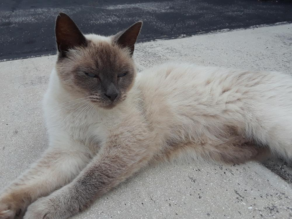 Lost Male Cat last seen Near NE 49th St & NE 9th Ave, Pompano Beach, FL 33064