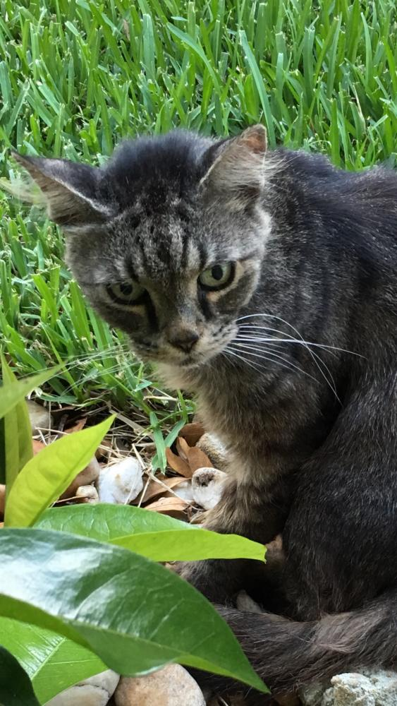 Lost Male Cat last seen 63rd Court & 40th Ave, Cocobay, Coconut Creek, FL 33073