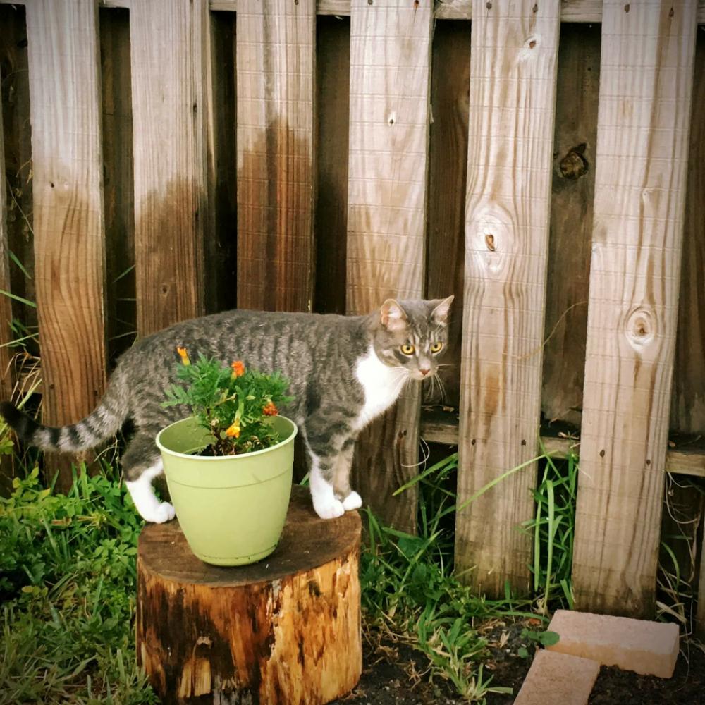 Lost Male Cat last seen Near NW 74th Ter & NW 82nd St, Tamarac, FL 33321