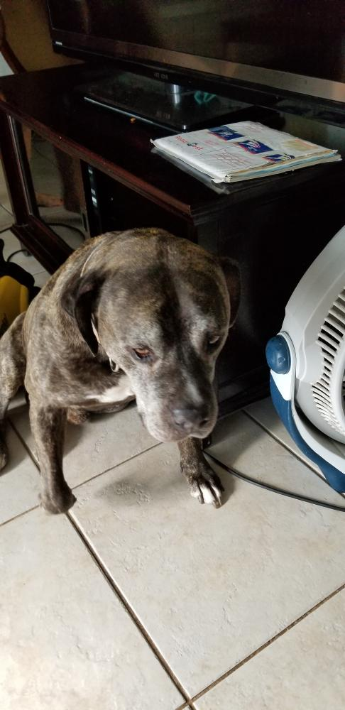Lost Male Dog last seen Near SW 77th Ave & SW 1st St, Margate, FL 33068