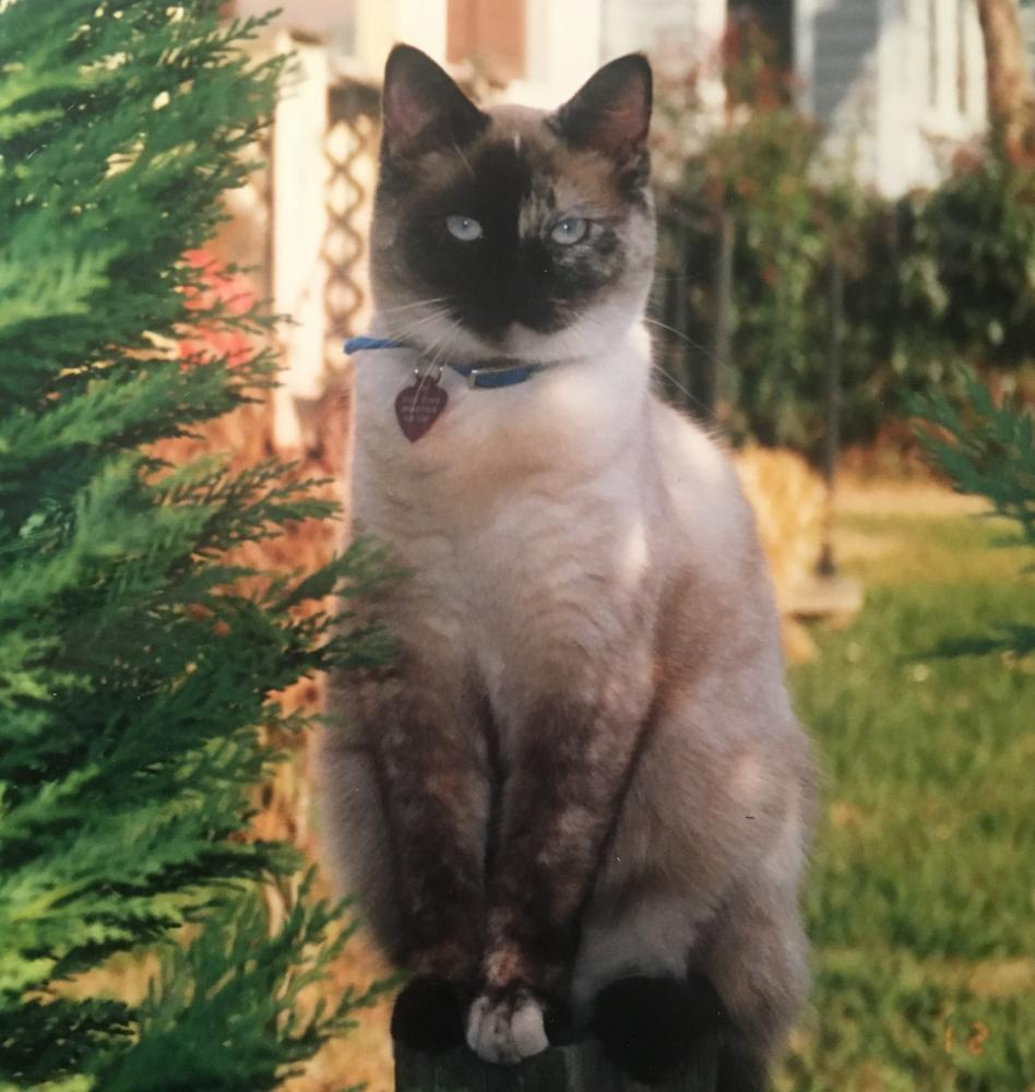 Lost Female Cat last seen Near Isle of Pines Rd & Waterford Drive, Mooresville, NC 28117