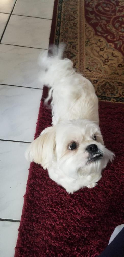 Lost Male Dog last seen Near SW 72nd Ave & SW 4th Ct, North Lauderdale, FL 33068