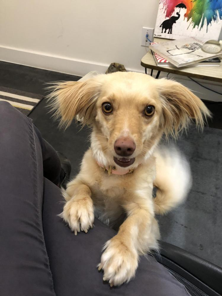 Lost Female Dog last seen Kingsland St & Stanwood & Sawtelle , Los Angeles, CA 90066