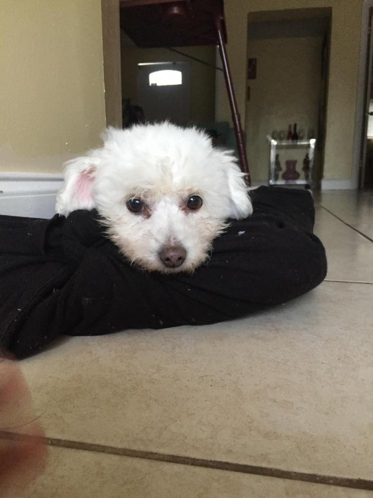 Lost Female Dog last seen Fortlauderdale fl 33312, Fort Lauderdale, FL 33312