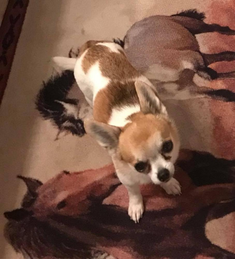 Lost Male Dog last seen FM 1151 and County Rd 6, Claude, TX 79019