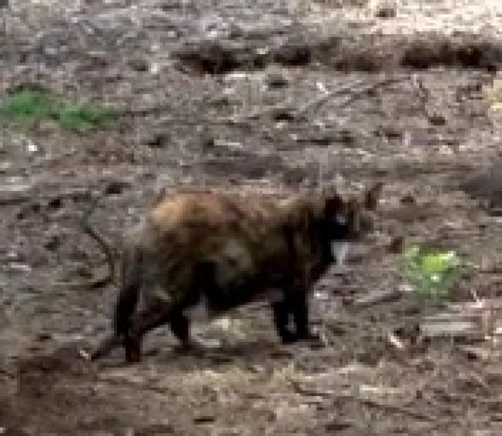 Lost Female Cat last seen Near Pau Nani St & Lanikila St, Waikoloa Village, HI 96738