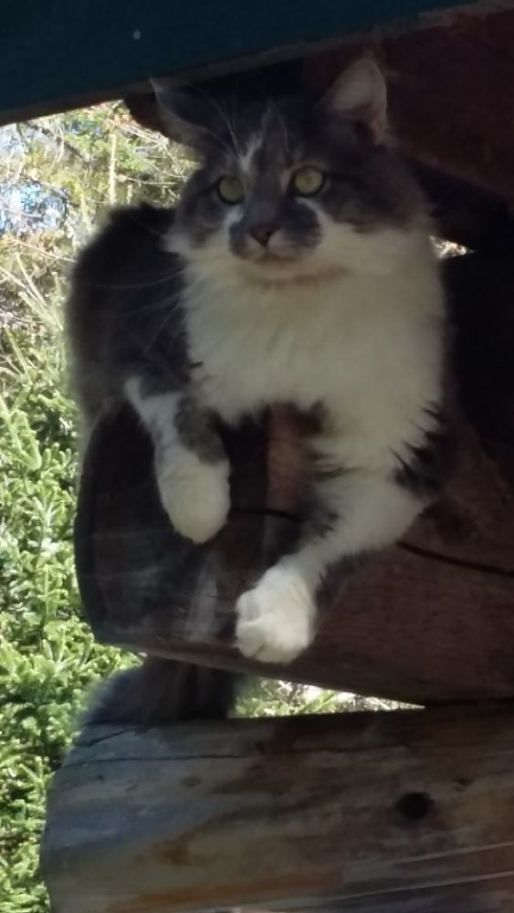 Lost Male Cat last seen Near Campbell Rd & Burnham Cemetary Rd, Penobscot County, ME 04422