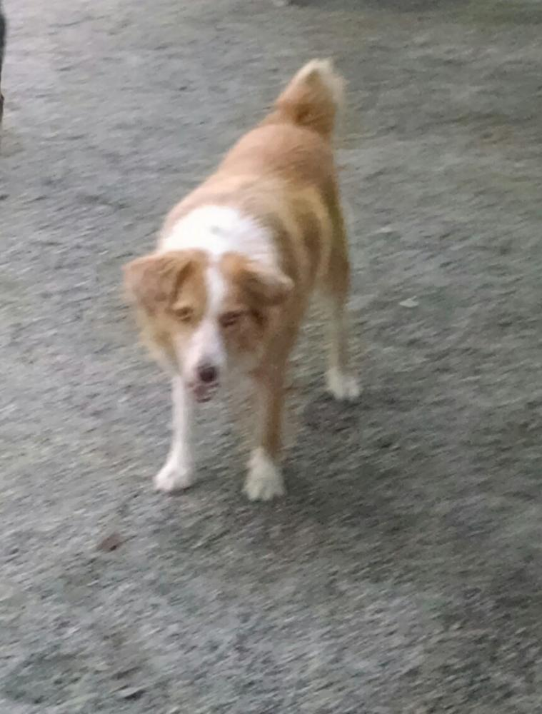 Lost Female Dog last seen Near Union School Road, Rowland, NC, USA, Rowland, NC 28383