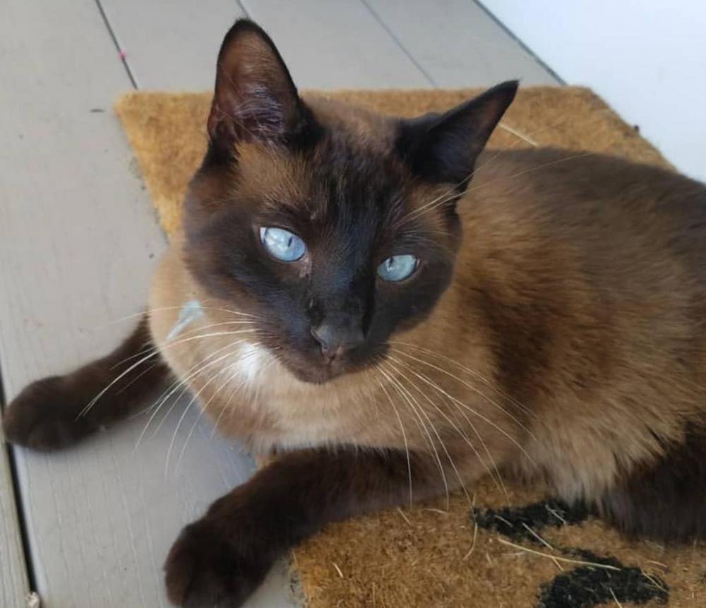 Lost Male Cat last seen Near Wildwood Drive, Brookline, NH, USA, Brookline, NH 03033