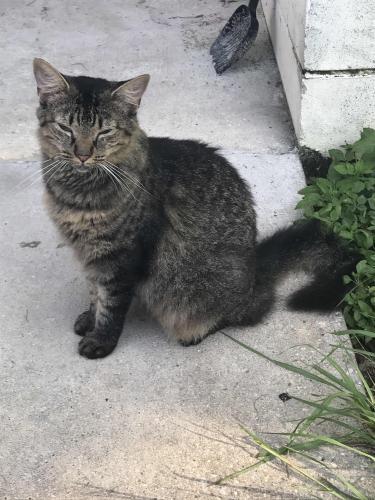 Lost Female Cat last seen Near SE 122nd Pl & SE 95th Ter, Belleview, FL 34420