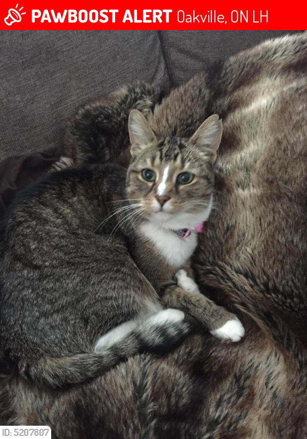 Lost Female Cat in Oakville, ON L6H Named Holly (ID: 5207807