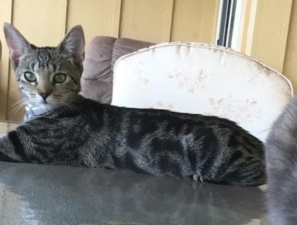 Lost Female Cat last seen Near Malina St & Apau Pl, Waikoloa Village, HI 96738