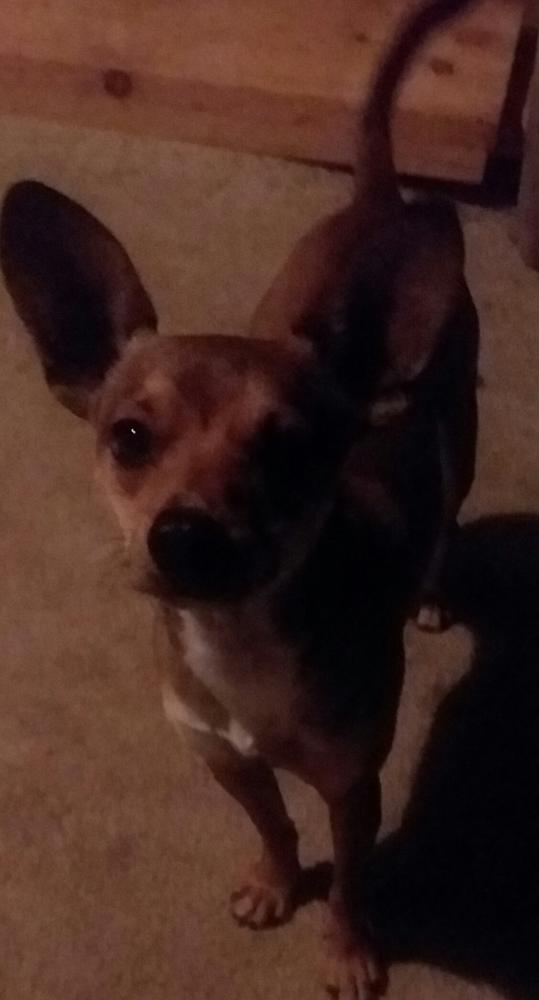 Lost Male Dog last seen 84-5060A Mamalahoa Highway, Captain Cook, HI, USA, Captain Cook, HI 96704