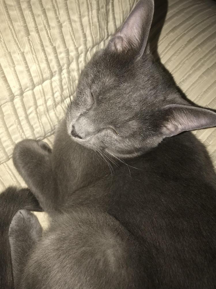 Lost Male Cat last seen Near Pierson St & Allendale Dr, Arvada, CO 80004