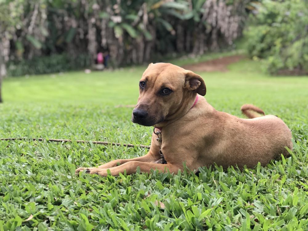 Lost Female Dog last seen Near Hawaii Belt Rd & Kalaoa Camp Rd, Papaikou, HI 96781