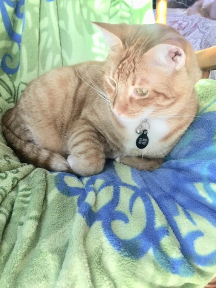 Lost Male Cat last seen Near. Lunalilo Home Road. Hawaii Kai, Honolulu, HI 96825