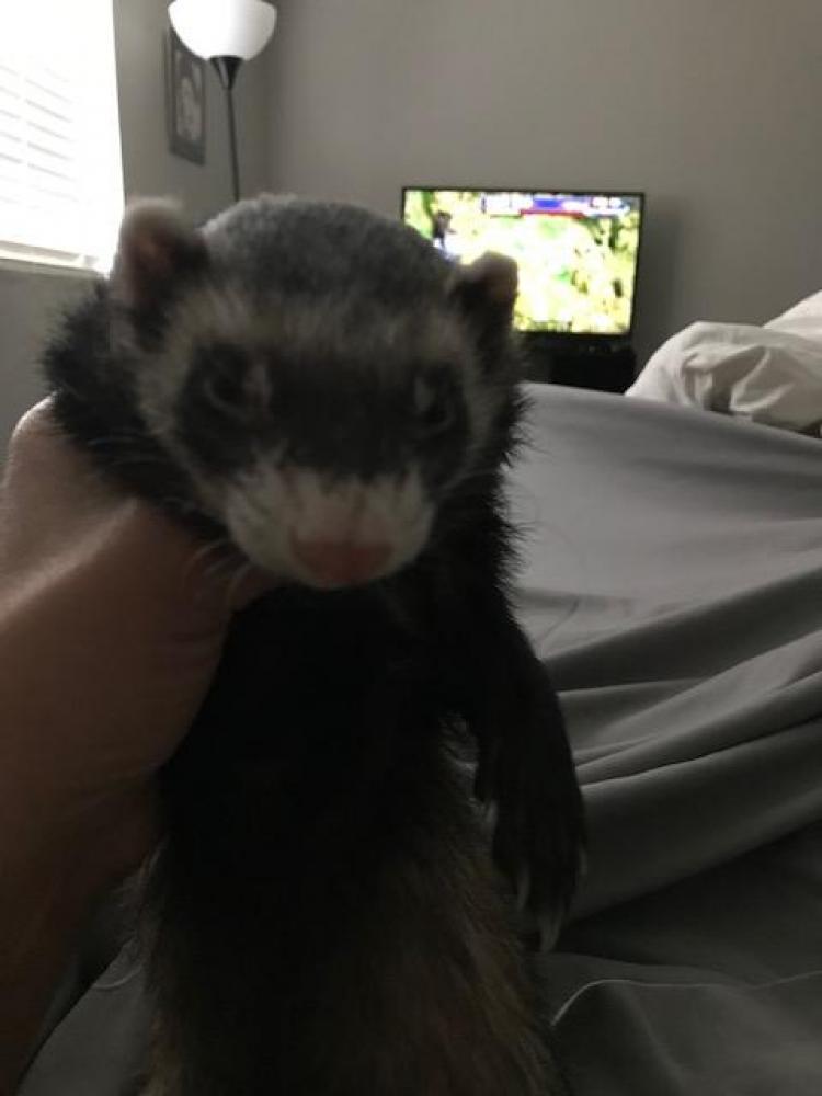 Lost Male Ferret last seen Near N 78th St & E Camelback Rd, Scottsdale, AZ 85251