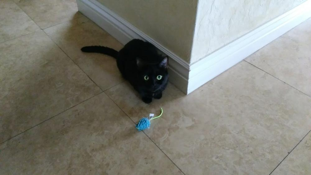 Lost Female Cat last seen Near N 36th Ct & N 50th Ave, Hollywood, FL 33021