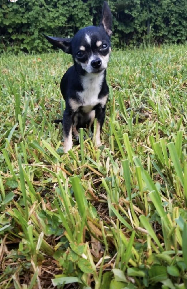 Lost Female Dog last seen Near Grant Ct & N 64th Ave, Hollywood, FL 33024