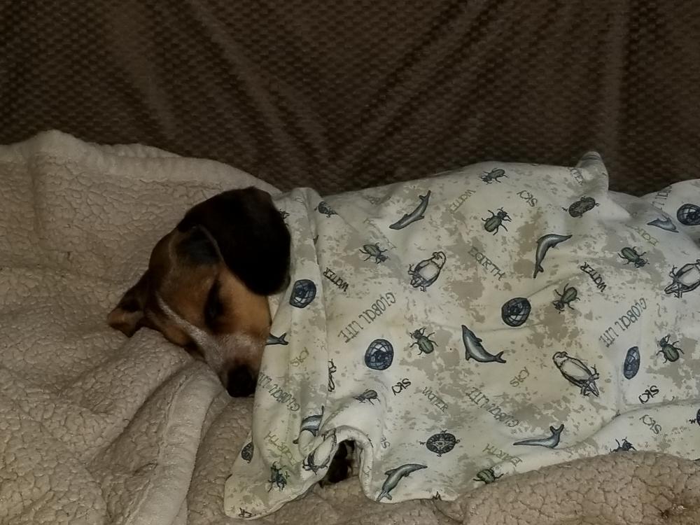 Lost Female Dog last seen Near east greasybend road, Mannsville, OK 73447