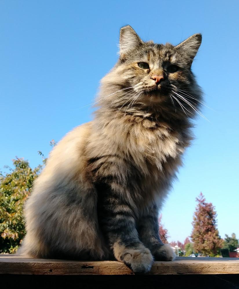 Lost Female Cat last seen Near Frederick Ln & Phebe Ave, Fremont, CA 94555