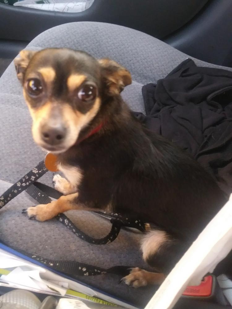 Lost Female Dog last seen Lancater and portland road, Salem, OR 97305