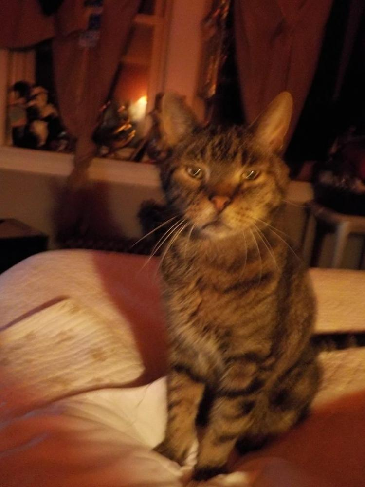 Lost Male Cat last seen Near Vernon Ave & Windemere Ave, Brookfield, IL 60513