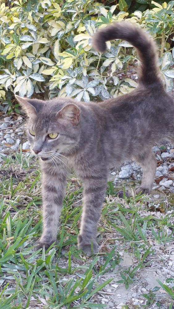 Lost Female Cat last seen Glades Rd. and Boca Falls Drive, Boca Raton, FL 33428