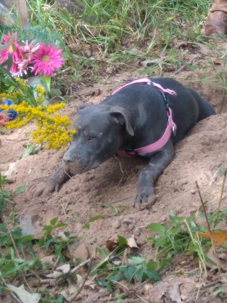 Found/Stray Female Dog last seen Near Kuykendahl Rd & North Fwy, Houston, TX 77060