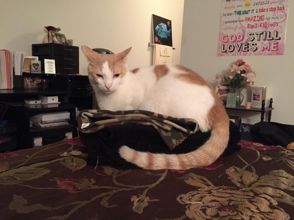 Lost Male Cat last seen Near Northwest 55th Avenue, Lauderhill, FL, USA, Lauderhill, FL 33313