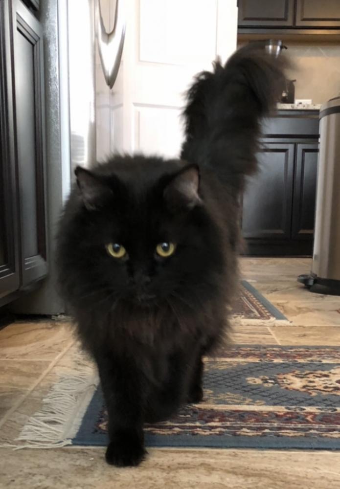Lost Male Cat last seen Near Canberra Trl & Grand Avenue Pkwy, Travis County, TX 78728