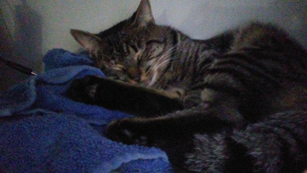 Lost Male Cat last seen Near Coltswood Ct & Pineburr Rd, Charlotte, NC 28211