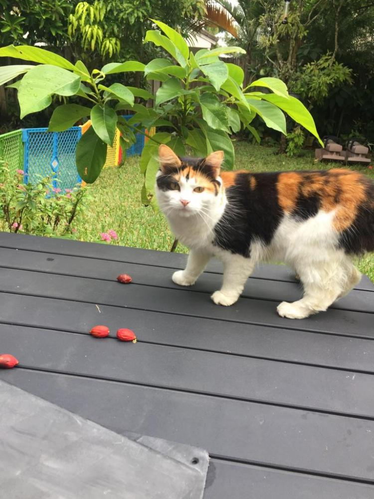 Found/Stray Female Cat last seen Near NW 136th Ave & NW 12th St, Pembroke Pines, FL 33028