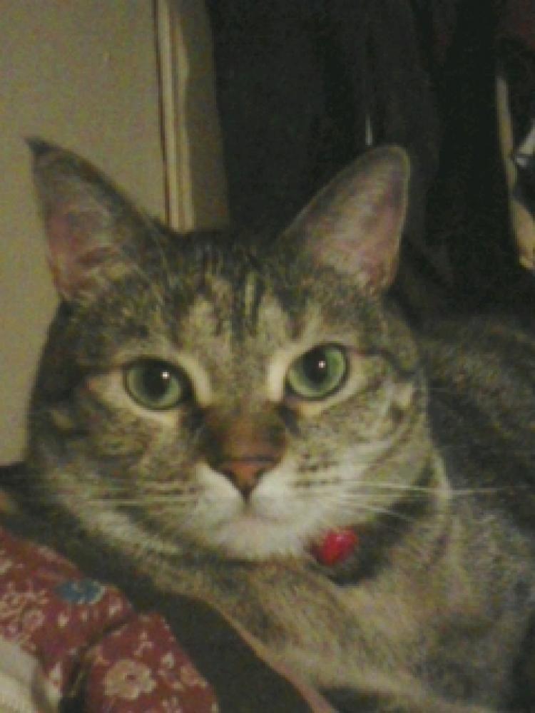 Lost Female Cat last seen Near E Helm Ave & S 200 E, South Salt Lake, UT 84115