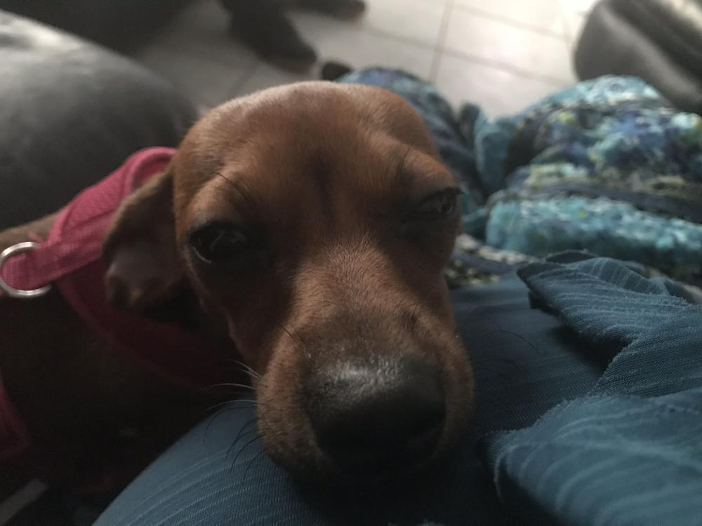 Lost Female Dog last seen Near NE 10th Way & NE 12th Ave, Pompano Beach, FL 33064