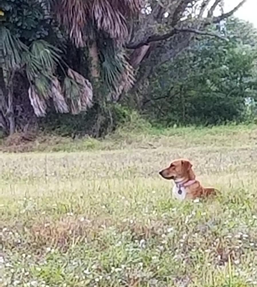 Found/Stray Unknown Dog last seen Race Track Casino parking area in Powerline Rd, Pompano Beach , Pompano Beach, FL 33069