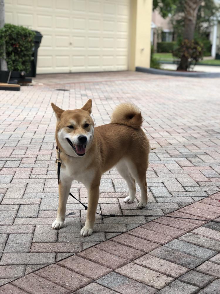 Lost Female Dog last seen Near SW 13th Pl & SW 11th Ave, Boca Raton, FL 33486