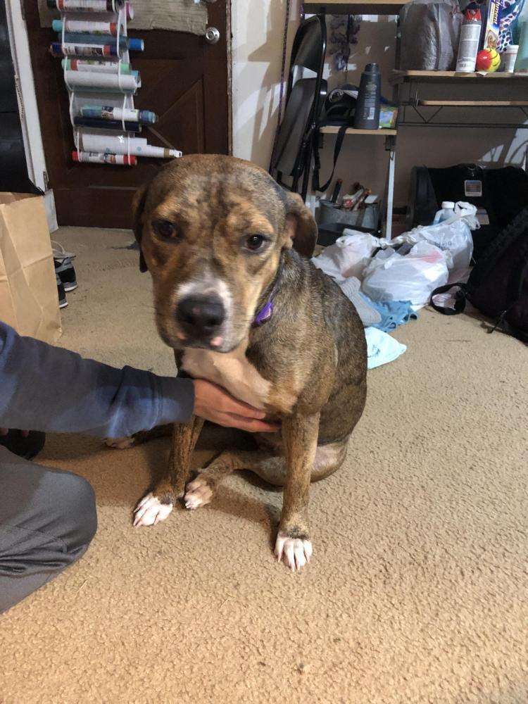 Found/Stray Female Dog last seen Near Richey Rd & FM 1960 Rd W, Houston, TX 77090
