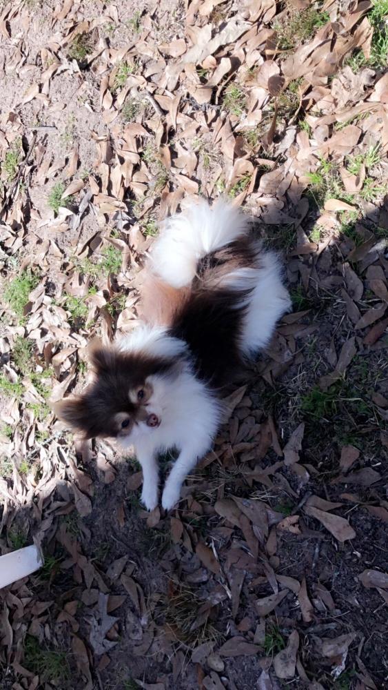 Lost Male Dog last seen Near Willis Waukegan Rd & Champion Village Dr, Conroe, TX 77303