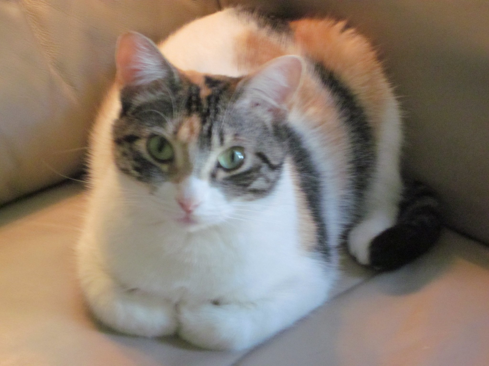 Lost Female Cat last seen Near Arbor Glen Dr & Highland Glen Dr, Ballwin, MO 63021