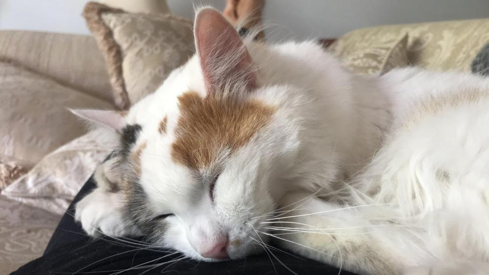 Lost Female Cat last seen Near Dendaryl Drive, Bundoora, VIC 3083