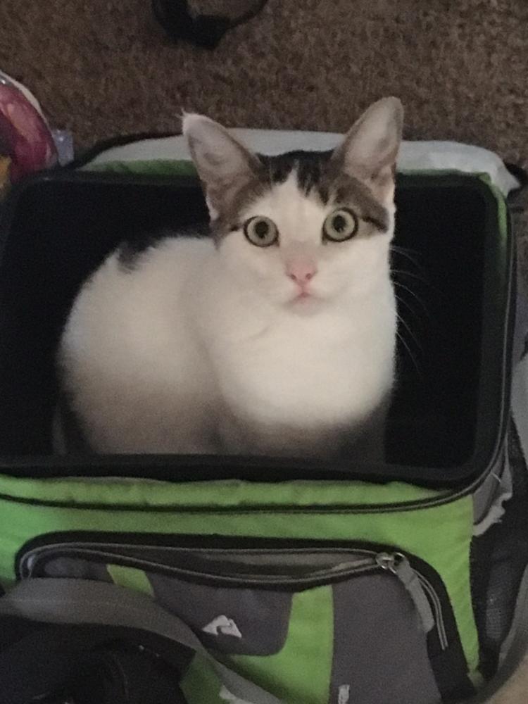 Lost Female Cat last seen Near Traffic Way & Barrenda Ave, Atascadero, CA 93422