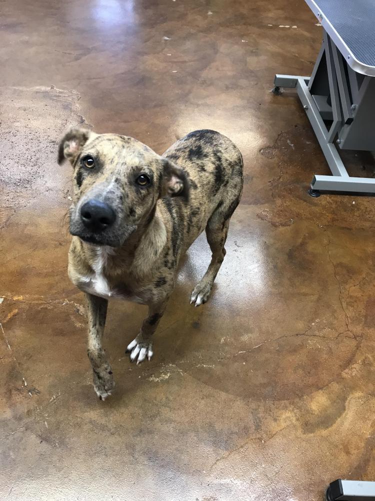 Found/Stray Female Dog last seen Whataburger winnie tx., Winnie, TX 77665