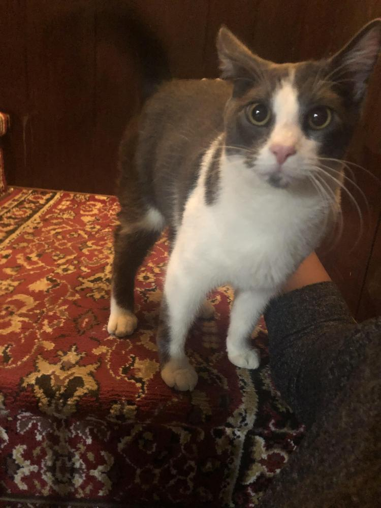 Found/Stray Male Cat last seen Near Evansdale Dr & Adelphi RD, Adelphi, MD 20783