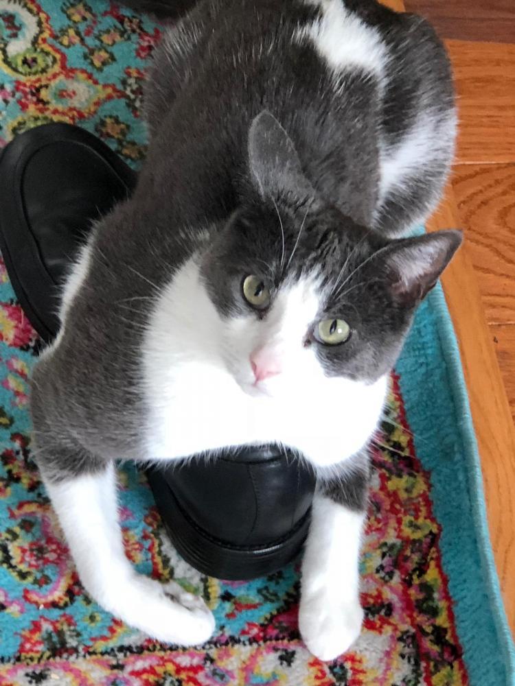 Lost Male Cat last seen Near Sheringham Way & Cantwell St, Gainesville, VA 20155