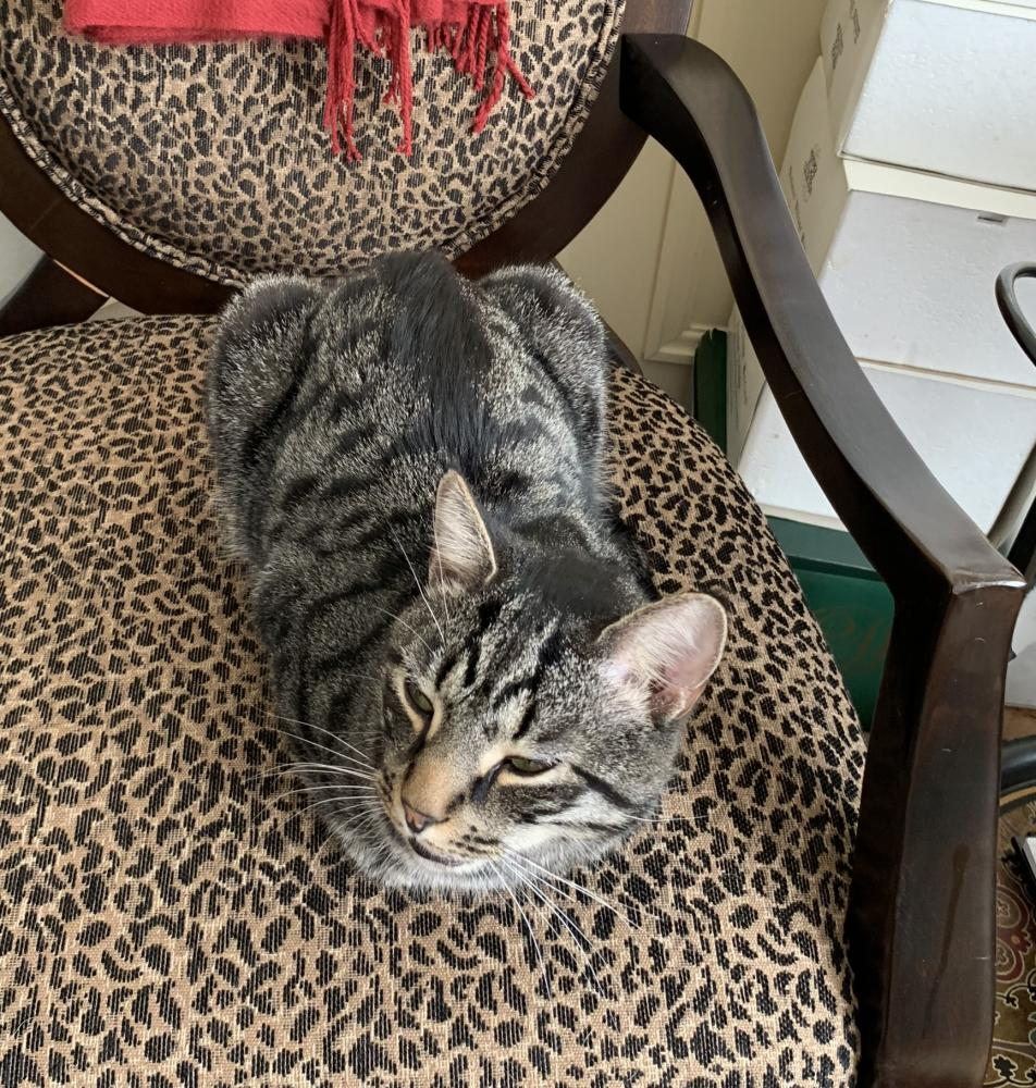 Lost Male Cat last seen Near I- 495 & Cabin John Pkwy, Bethesda, MD 20817