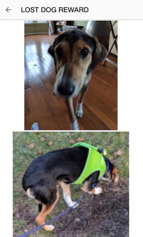 Lost Female Dog last seen Near Waverly Crossing Ln & Castle Ct, Chantilly, VA 20151