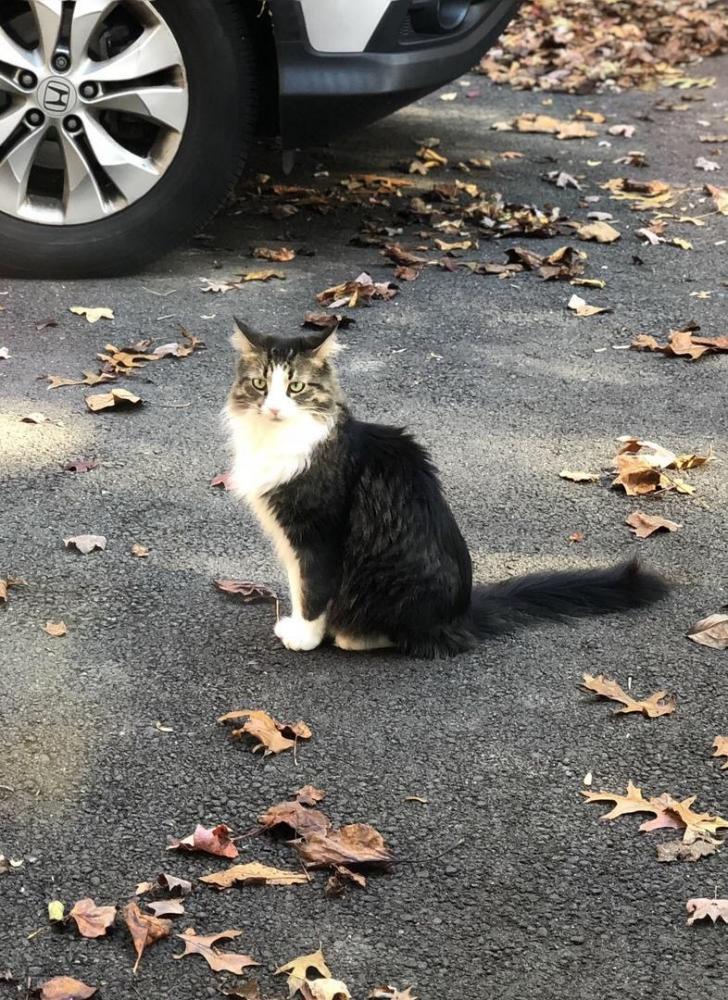 Found/Stray Unknown Cat last seen Near Stoneledge Ct & Myrtle Ln, Reston, VA 20191
